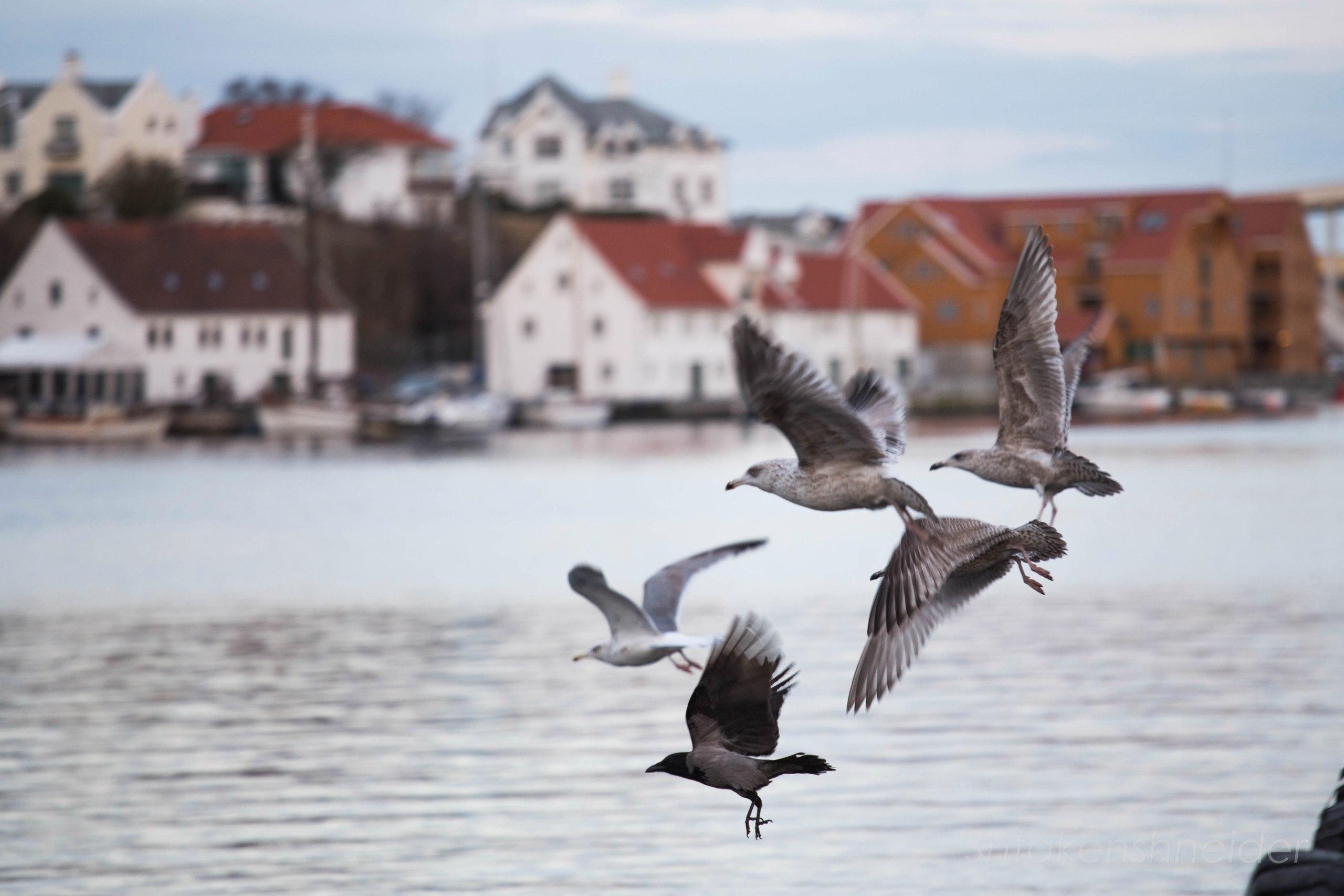 Чайки летят в Норвегии