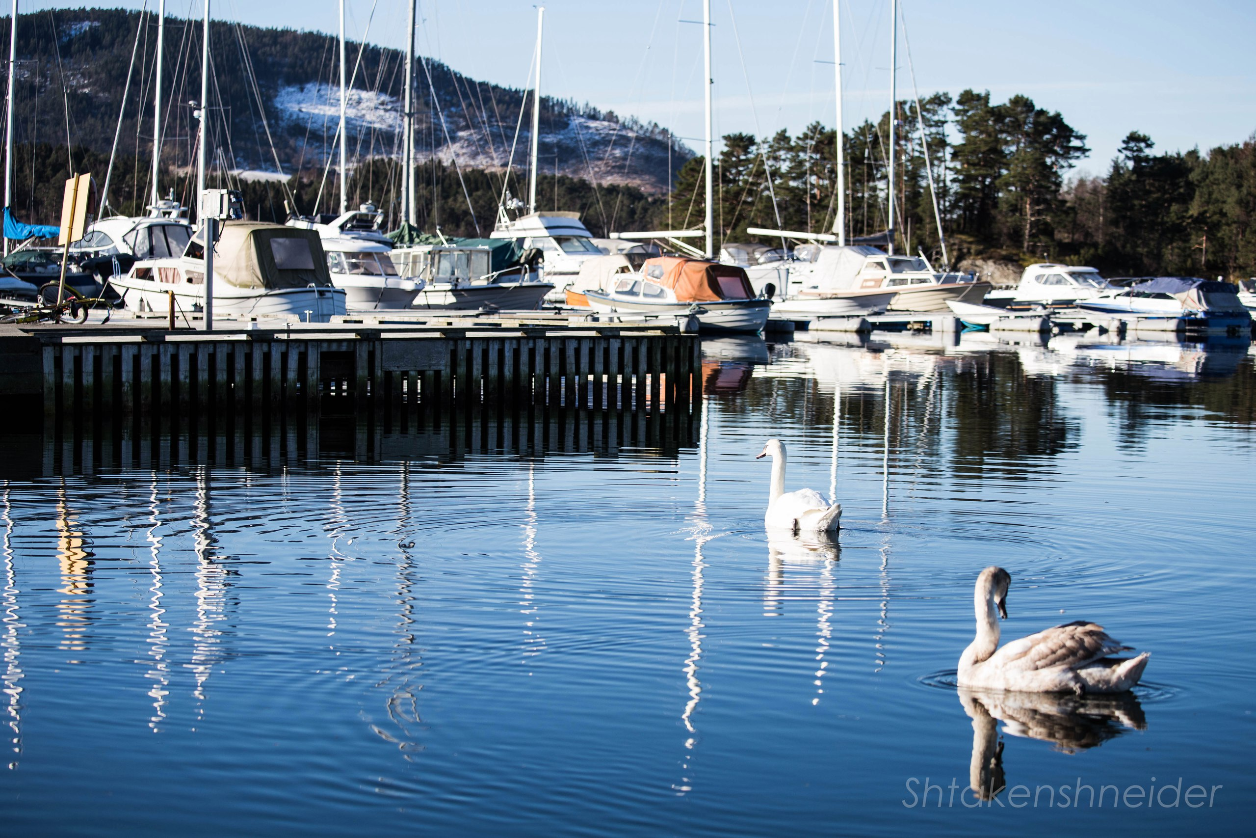 Лебеди в марине Хюснеса: фотографии